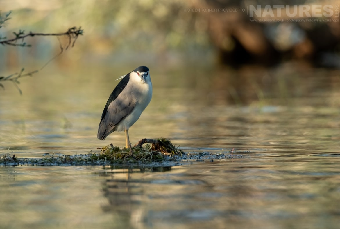 A night heron standing on a submerged tree in the dead forest photographed during the Spring Birds of Kerkini photography Holiday conducted by NaturesLens