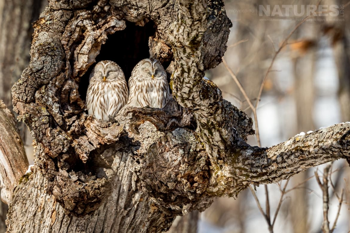 A pair of Ural Owls nestled into an ancient tree photographed during the NaturesLens Winter Wildlife of Hokkaido Japan Photography Holiday