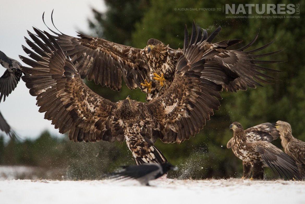 A pair of White tailed Eagles fight above a snowy landscape photographed at the locations used for the NaturesLens Winters White tailed Eagles of Norway photography holiday