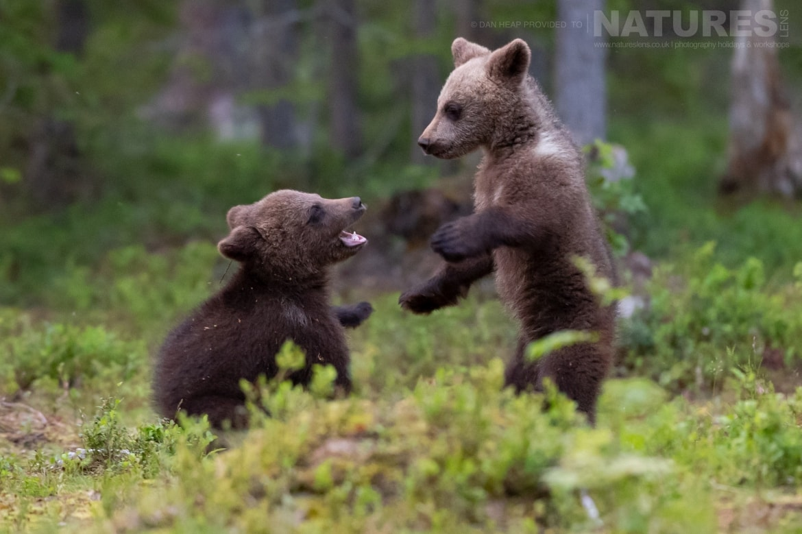 A pair of brown bear cubs play in the forest image captured during the NaturesLens Majestic Brown Bears Cubs of Finland Photography Holiday