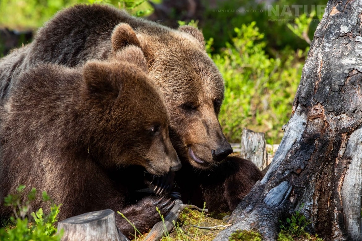 A pair of brown bears in the Finnish forest image captured during the NaturesLens Majestic Brown Bears Cubs of Finland Photography Holiday