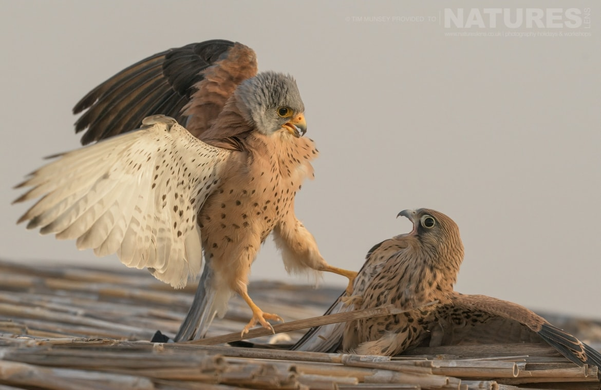 A pair of confrontational lesser kestrels photographed during the NaturesLens Spanish Wildlife Birdlife of Toledo Photography Holiday