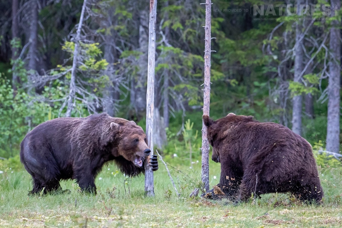 A pair of large adult brown bears have a noisy encouter in the forest image captured during the NaturesLens Majestic Brown Bears Cubs of Finland Photography Holiday