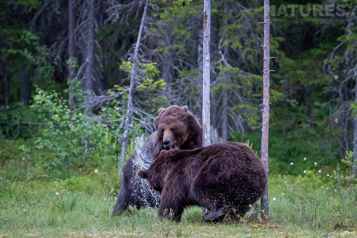 A pair of large brown bears have a noisy encouter in the forest image captured during the NaturesLens Majestic Brown Bears Cubs of Finland Photography Holiday