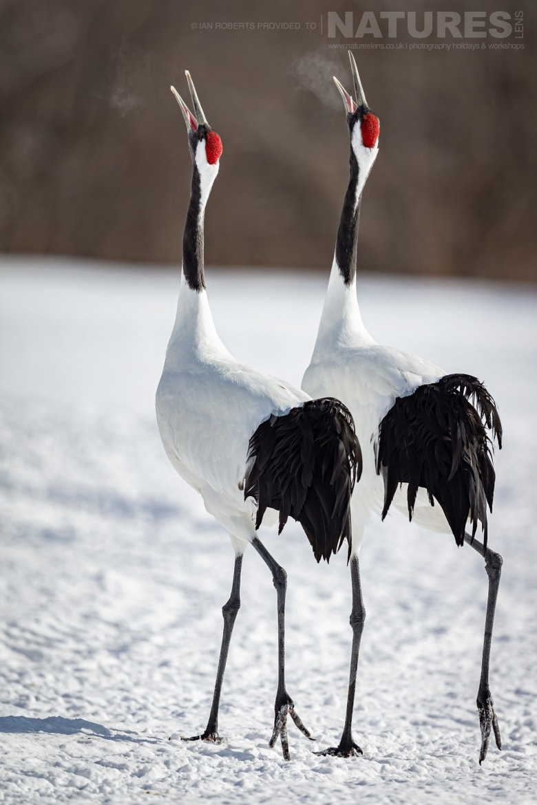 A pair of synchronised Red Crowned Cranes barking into the cold air photographed during the NaturesLens Winter Wildlife of Hokkaido Japan Photography Holiday