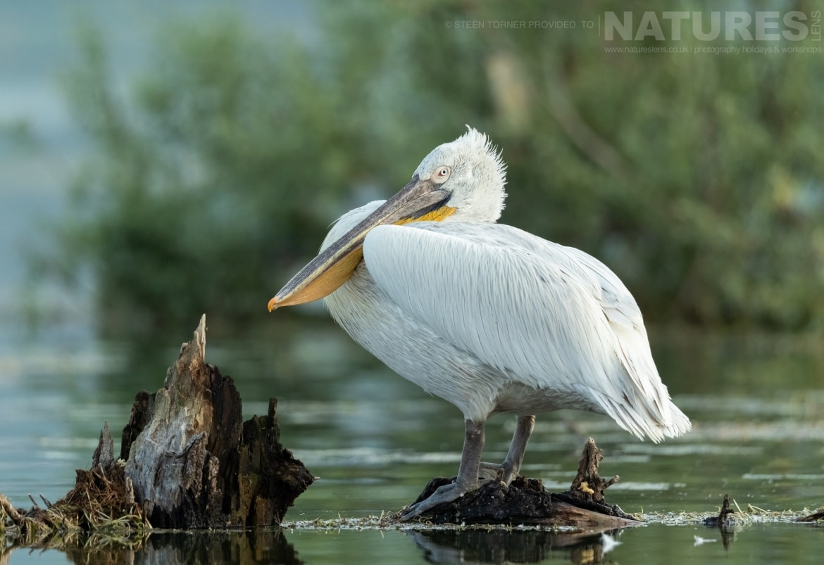 A pelican perched on a submerged tree in the dead forest photographed during the Spring Birds of Kerkini photography Holiday conducted by NaturesLens