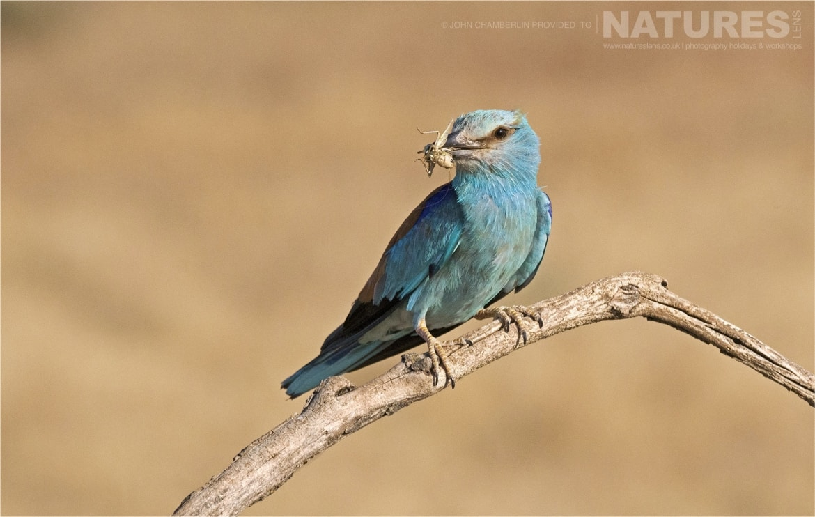 A perched European Roller with food photographed during the Spanish Birdlife of Toledo Photography Holiday