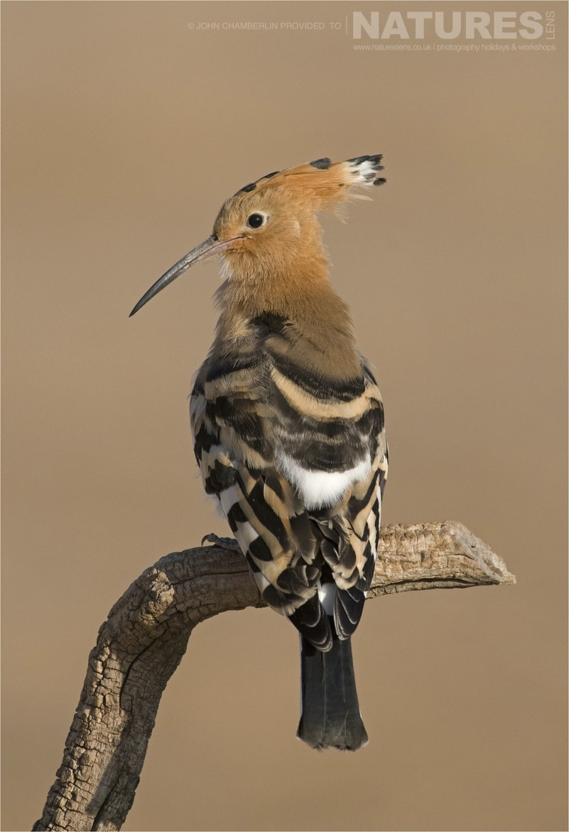 A perched Hoopoe takes a break before returning to the nest photographed during the Spanish Birdlife of Toledo Photography Holiday