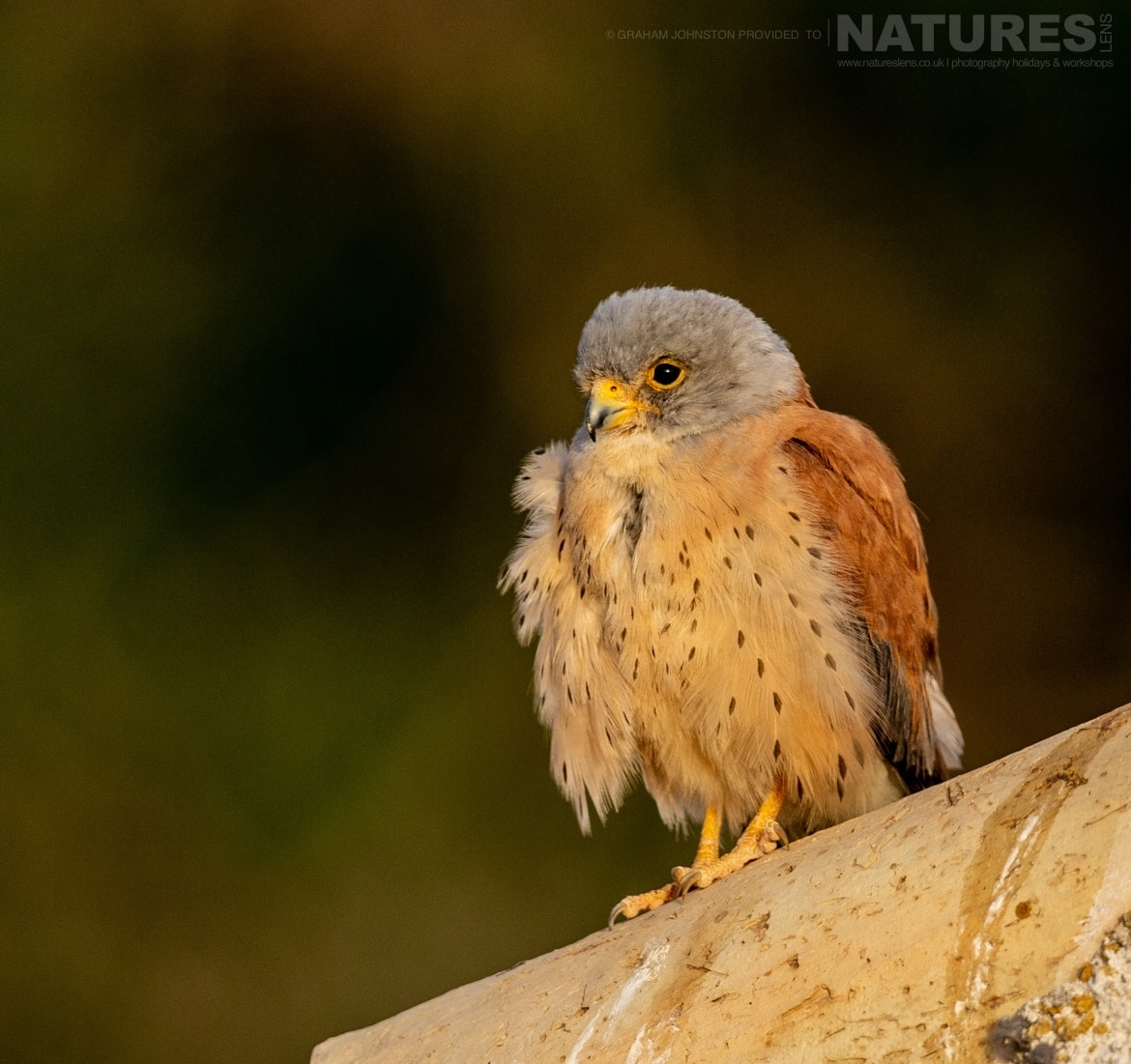 A perched lesser kestrel on the rootfop of the building which houses their colony photographed during the NaturesLens Spanish Wildlife Birdlife of Toledo Photography Holiday