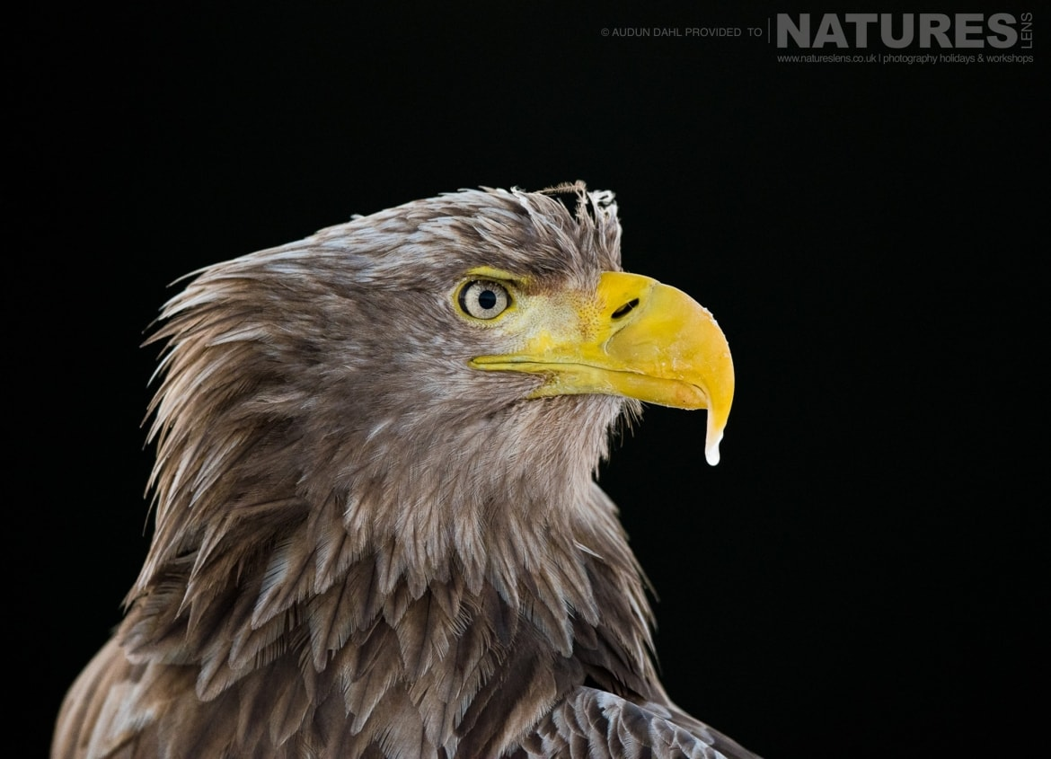 A profile of one of the White tailed Eagles photographed at the locations used for the NaturesLens Winters White tailed Eagles of Norway photography holiday