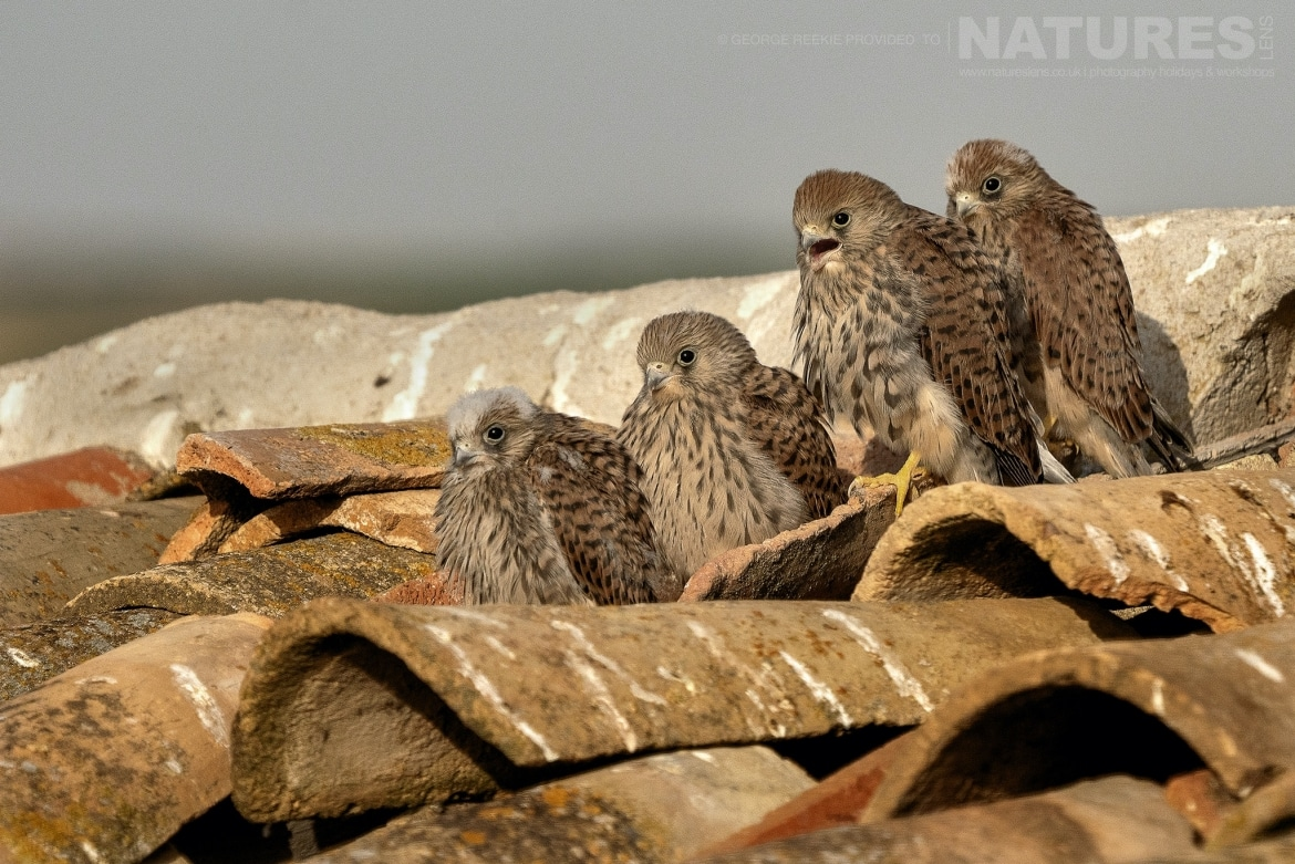 A quartet of Lesser Kestrel young calling for food from the rooftop photographed during the NaturesLens Spanish Birdlife of Toledo photography holiday