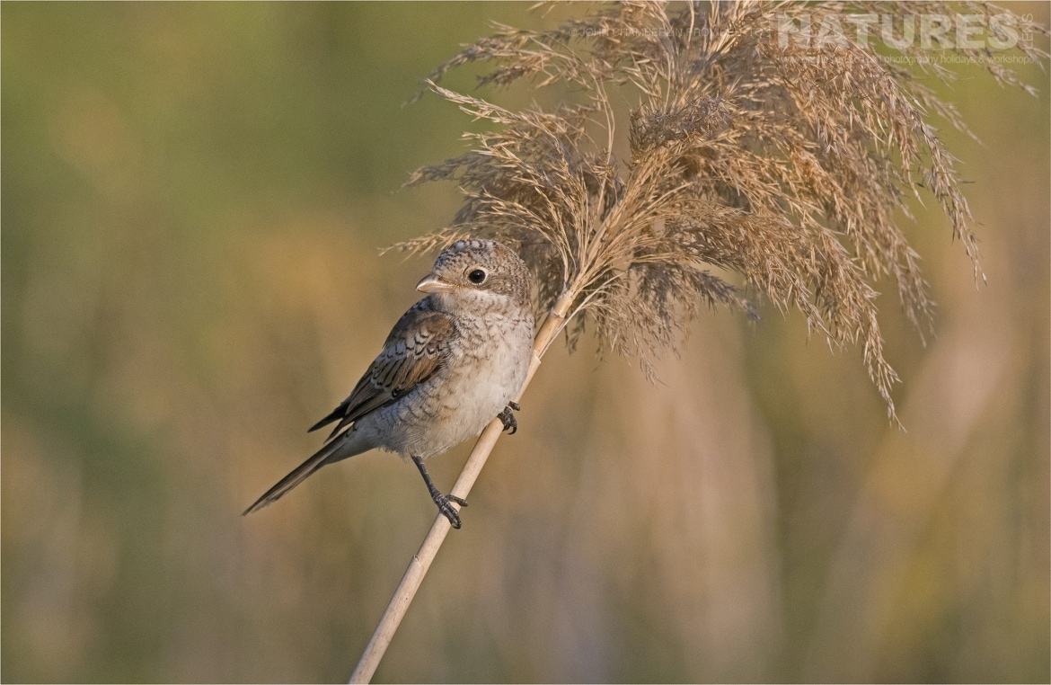 A solitary Juvenile Woodchat Shrike grasps onto a reed photographed during the Spanish Birdlife of Toledo Photography Holiday