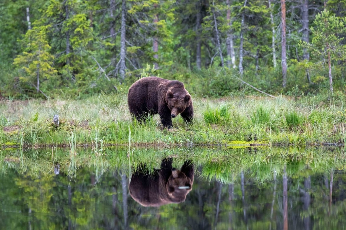 A solitary male bear reflected beautifully in the lake image captured during the NaturesLens Majestic Brown Bears Cubs of Finland Photography Holiday 1