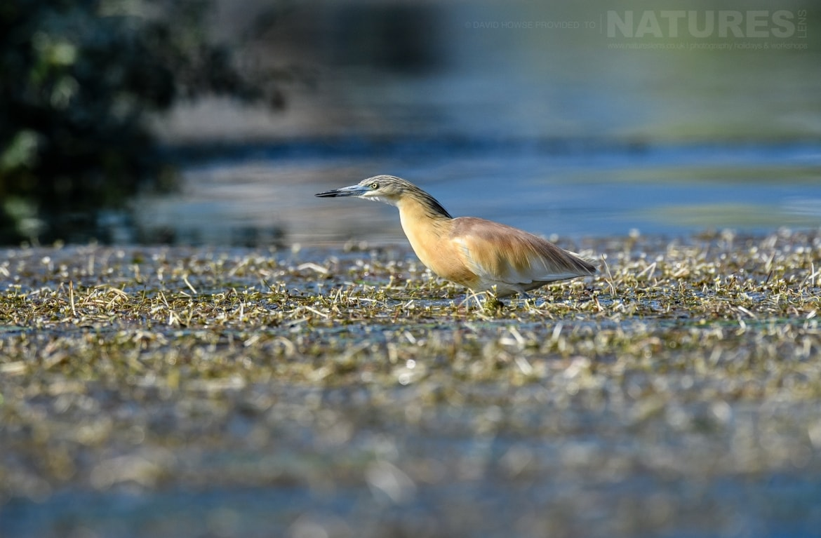 A squacco heron in the waters of the dead forest photographed during the Spring Birds of Kerkini photography Holiday conducted by NaturesLens