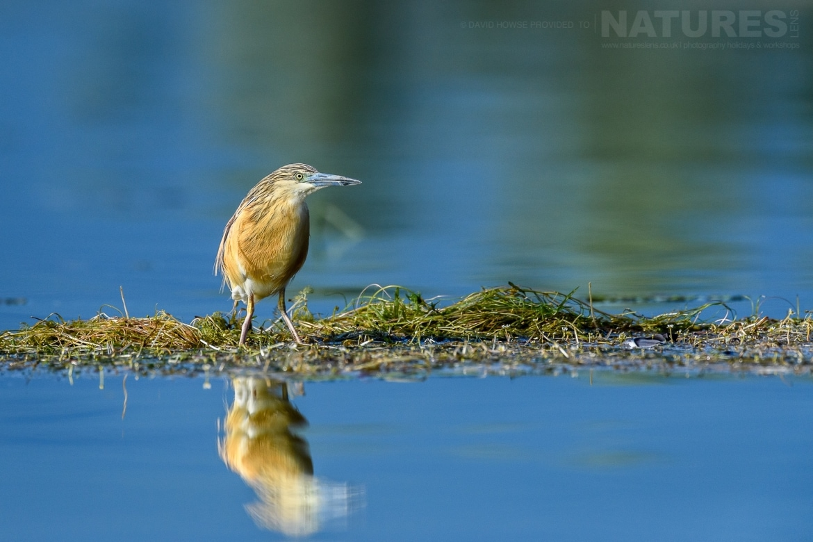 A squacco heron reflected in the waters of the dead forest photographed during the Spring Birds of Kerkini photography Holiday conducted by NaturesLens