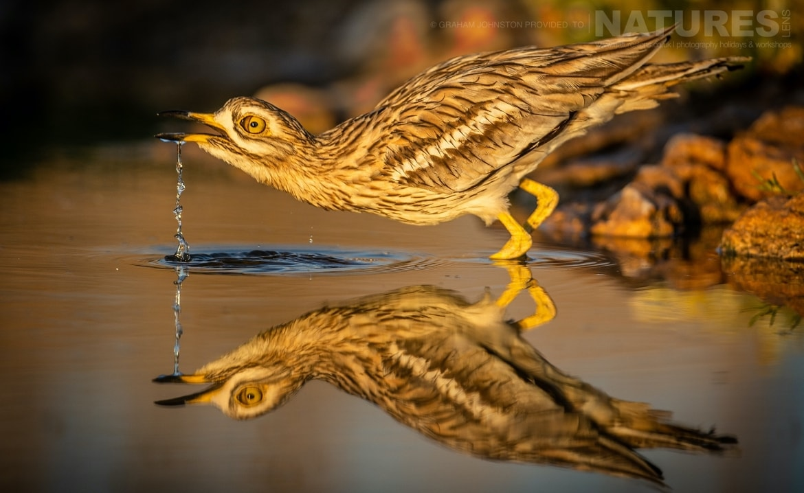 A stone curlew drinking from one of the estates many water holes photographed during the NaturesLens Spanish Wildlife Birdlife of Toledo Photography Holiday
