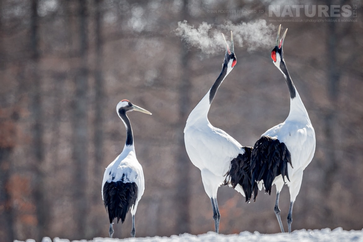 A trio of Red Crowned Cranes barking into the cold air photographed during the NaturesLens Winter Wildlife of Hokkaido Japan Photography Holiday