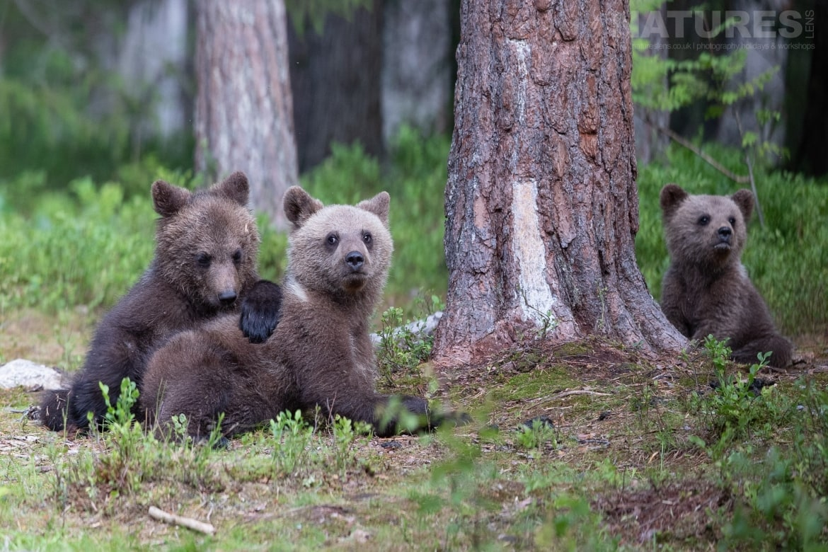 A trio of brown bear cubs play in the forest image captured during the NaturesLens Majestic Brown Bears Cubs of Finland Photography Holiday
