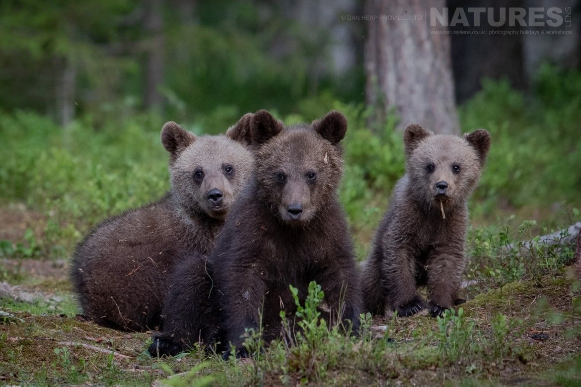A trio of brown bear cubs pose for the camera in the forest image captured during the NaturesLens Majestic Brown Bears Cubs of Finland Photography Holiday