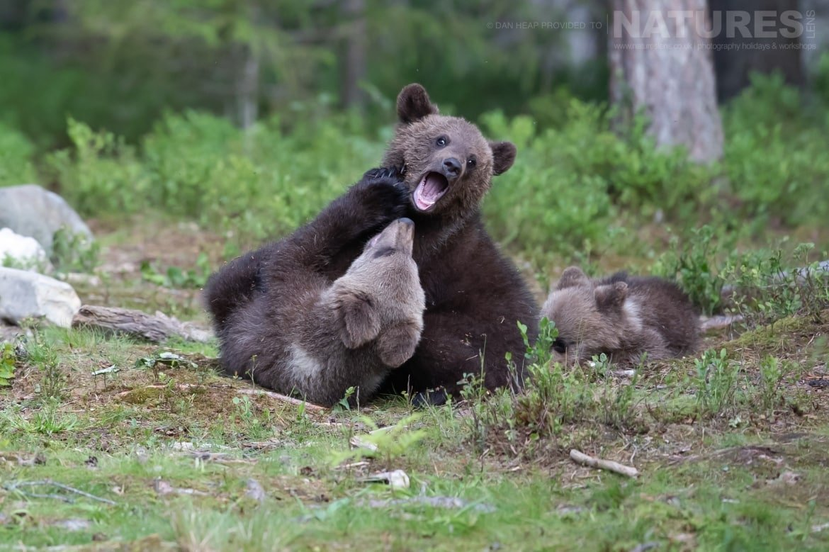 A trio of brown bear cubs two of whom are playfighting play in the forest image captured during the NaturesLens Majestic Brown Bears Cubs of Finland Photography Holiday
