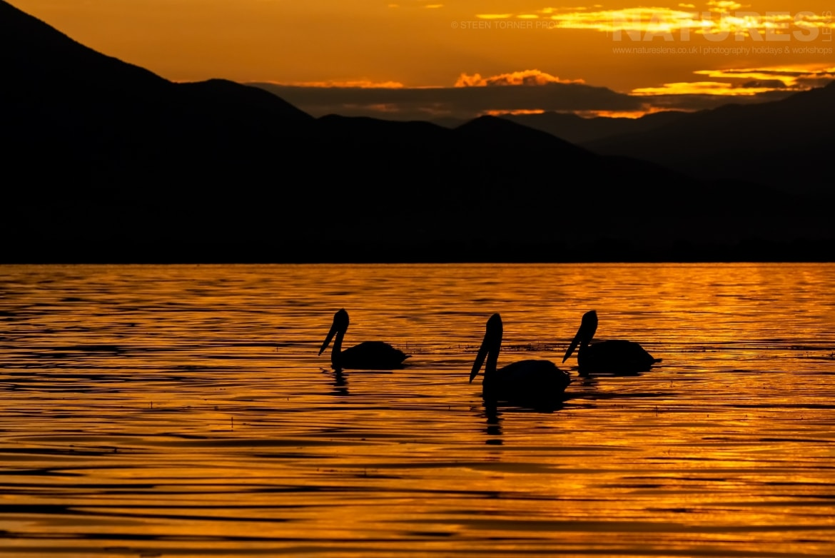 A trio of drifting pelicans at sunrise on Lake Kerkini photographed during the Spring Birds of Kerkini photography Holiday conducted by NaturesLens