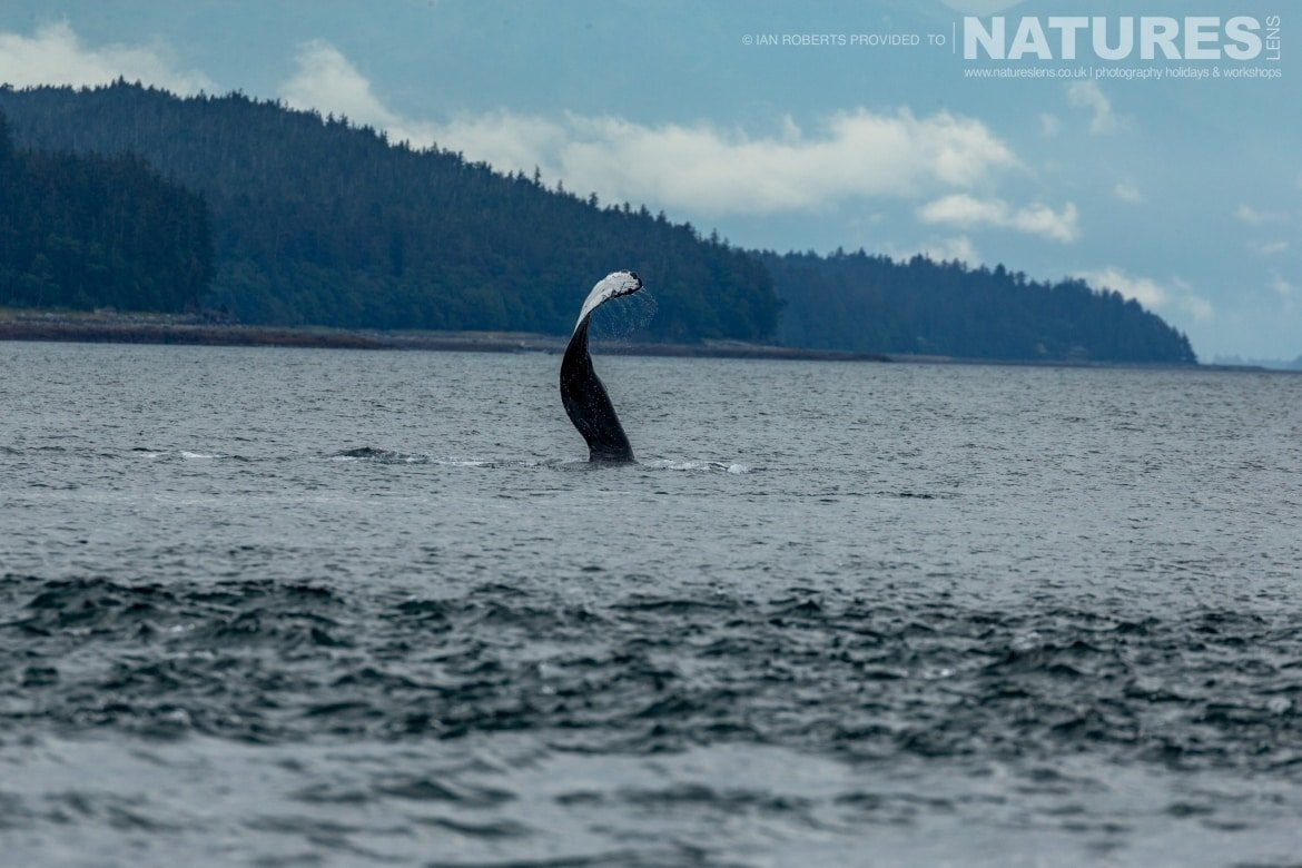 A whale tail fluking in the icy waters outside of Juneau photographed during the Orcas Eagles Whales Glaciers of Alaska Photography Holiday