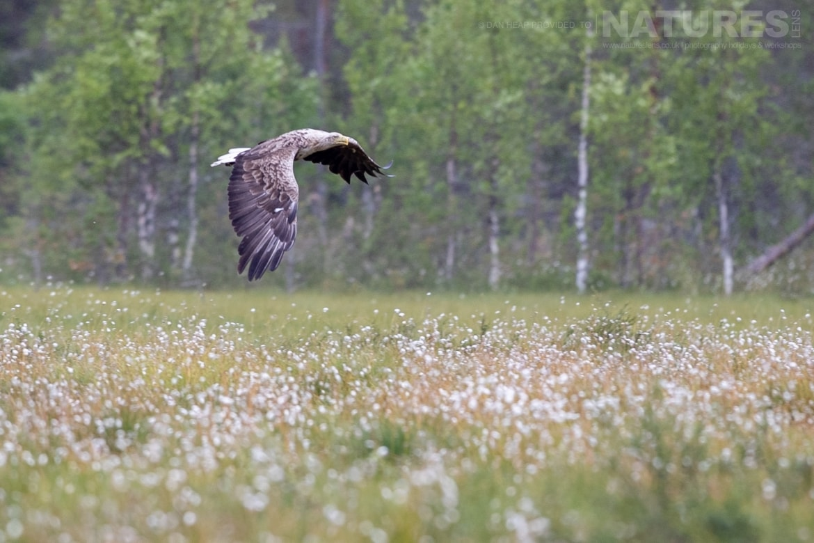 A white tailed sea eagle flies over a flower strewn meadow image captured during the NaturesLens Majestic Brown Bears Cubs of Finland Photography Holiday