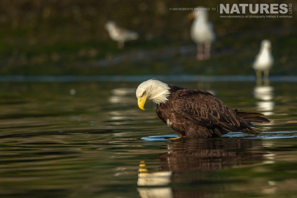 An American Bald Eagle in the waters of Auke Bay photographed during the Orcas Eagles Whales Glaciers of Alaska Photography Holiday