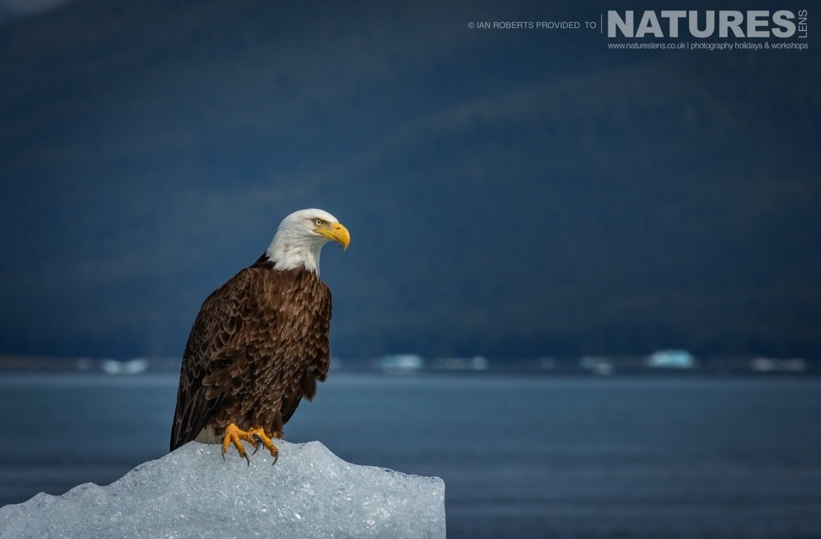 An American Bald Eagle perched on top of a gigantic chunk of glacial ice photographed during the Orcas Eagles Whales Glaciers of Alaska Photography Holiday