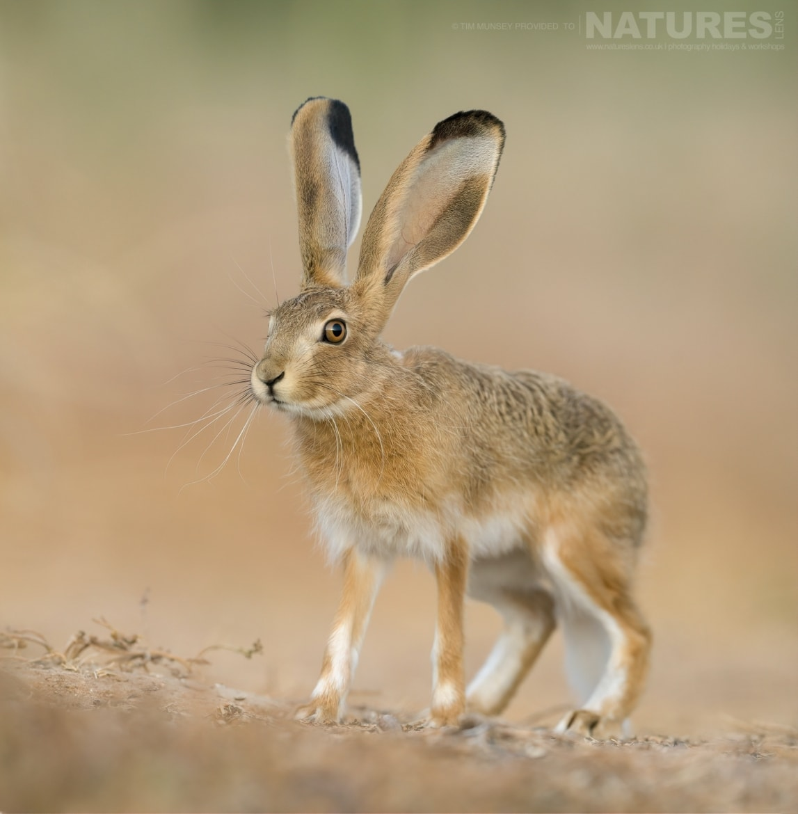 An Iberian Hare as found throughout the estate photographed during the NaturesLens Spanish Wildlife Birdlife of Toledo Photography Holiday