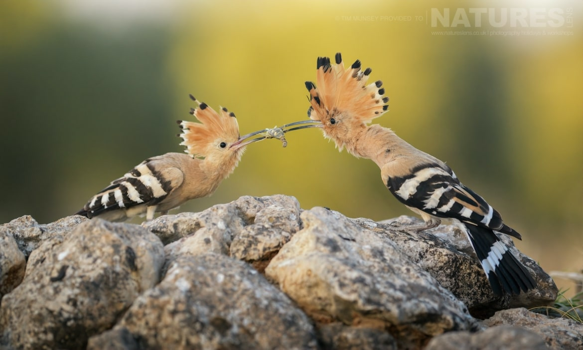 An adult hoopoe feeds one of this years juveniles photographed during the NaturesLens Spanish Wildlife Birdlife of Toledo Photography Holiday