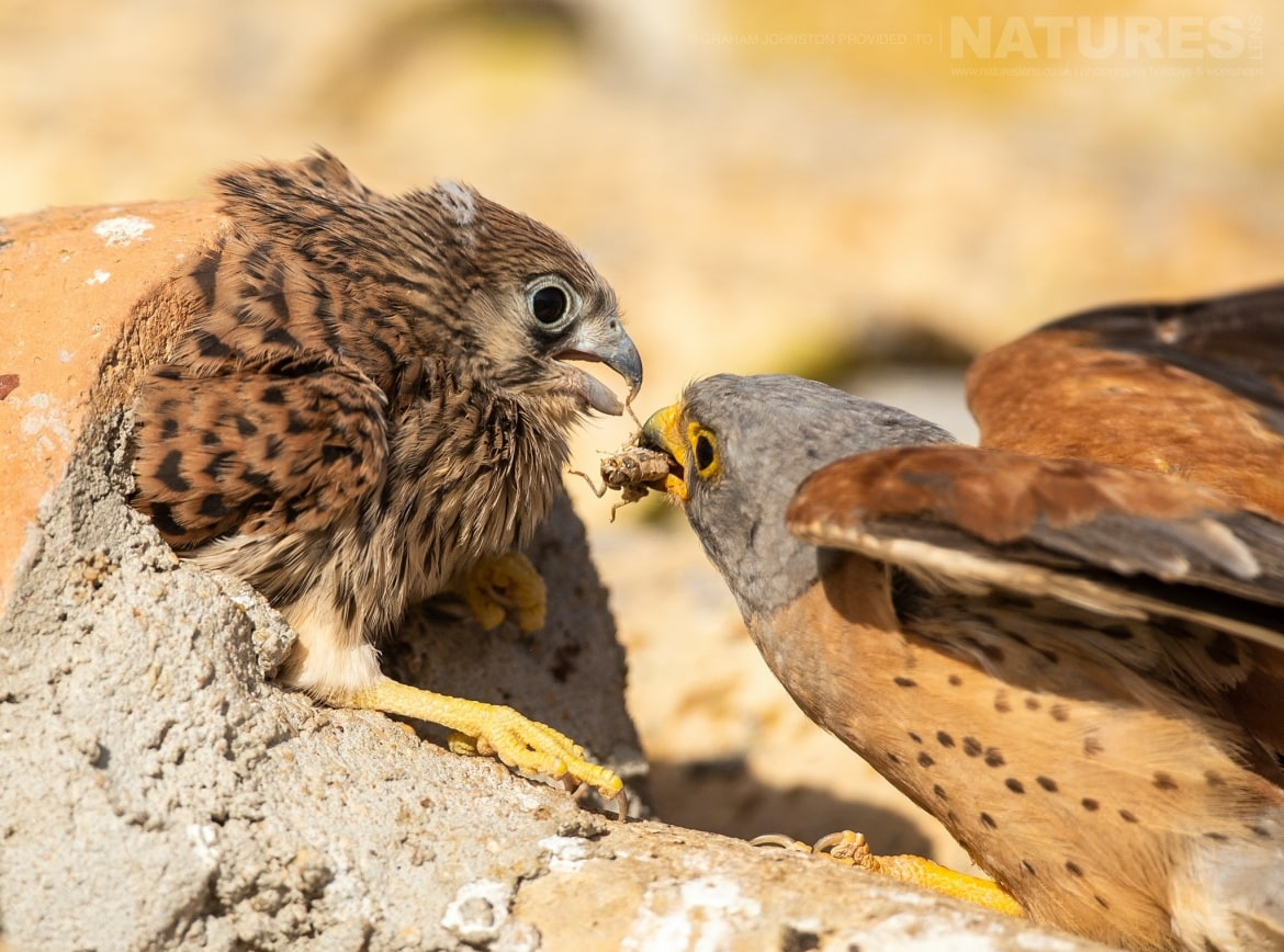 An adult lesser kestrel feeds one of its young on the rootfop of the building which houses their colony photographed during the NaturesLens Spanish Wildlife Birdlife of Toledo Photography Holiday