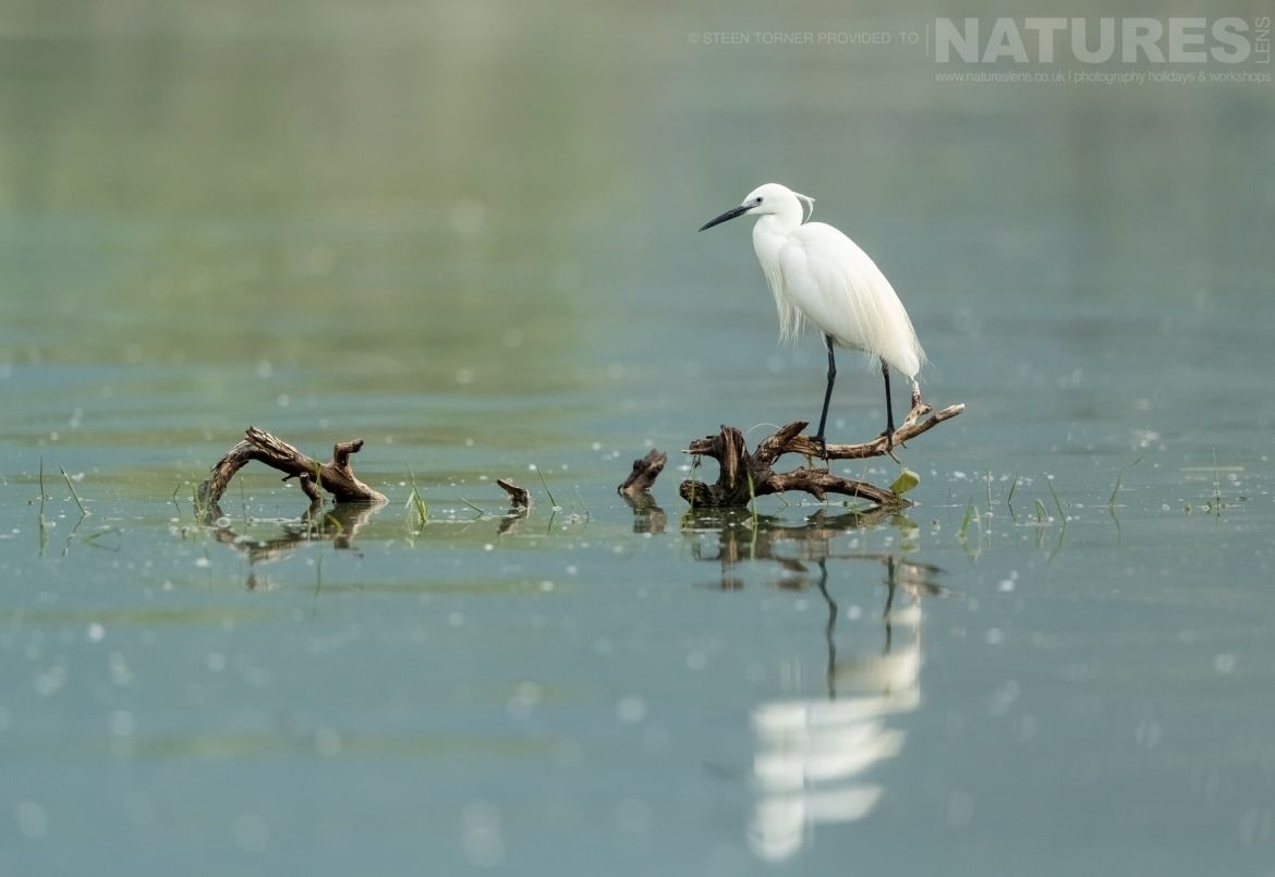 An egret perched on one of the submerged trees in the dead forest photographed during the Spring Birds of Kerkini photography Holiday conducted by NaturesLens