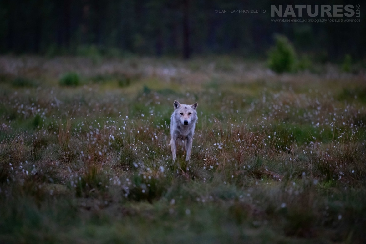 An old white wolf spots the photographer whilst stood in a flower strewn meadow image captured during the NaturesLens Majestic Brown Bears Cubs of Finland Photography Holiday