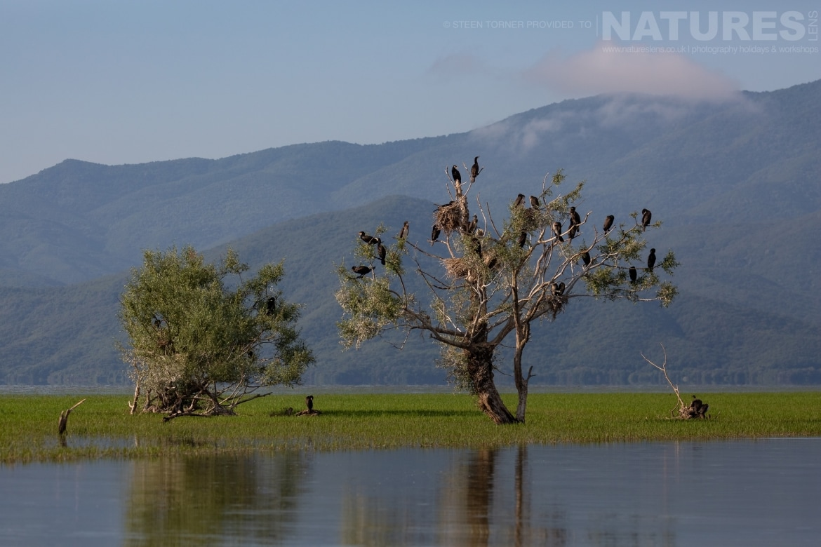 Cormorants perched on partially submerged trees in the dead forest photographed during the Spring Birds of Kerkini photography Holiday conducted by NaturesLens