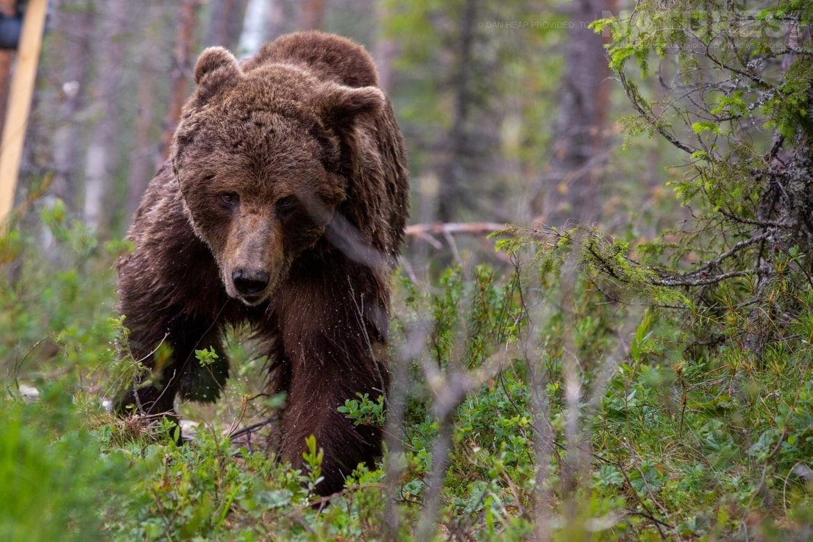 Here he comes one of the large male bears moves through the undergrowth image captured during the NaturesLens Majestic Brown Bears Cubs of Finland Photography Holiday