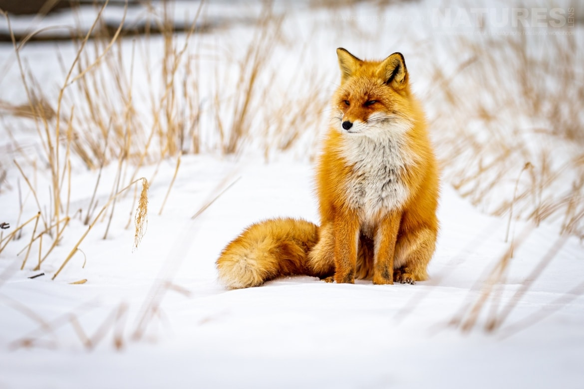 One of Hokkaidos Red Foxes sits confidently on a bank of snow photographed during the NaturesLens Winter Wildlife of Hokkaido Japan Photography Holiday