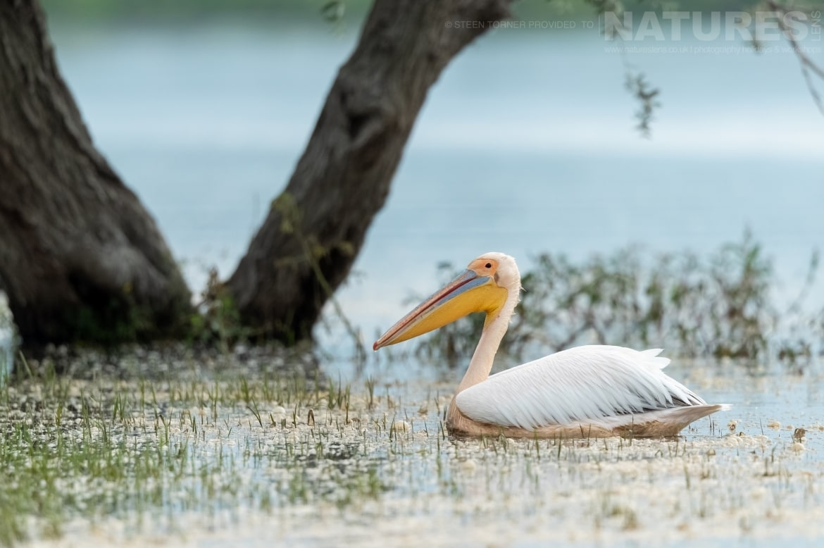 One of Kerkinis famous pelicans floats past on the waters of the dead forest photographed during the Spring Birds of Kerkini photography Holiday conducted by NaturesLens