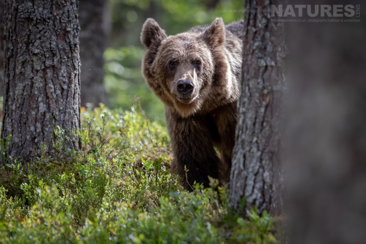 One of the adult brown bears emerges from behind a tree image captured during the NaturesLens Majestic Brown Bears Cubs of Finland Photography Holiday