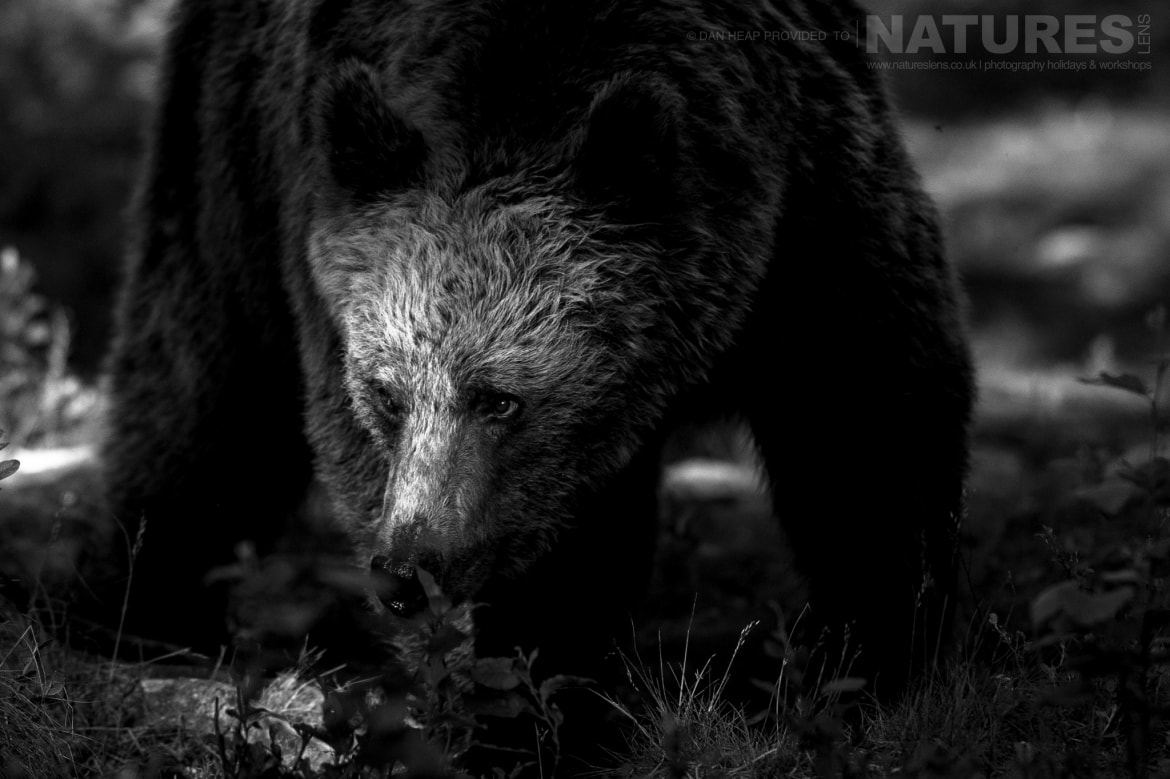 One of the adult brown bears emerges from the darkness of the forest image captured during the NaturesLens Majestic Brown Bears Cubs of Finland Photography Holiday