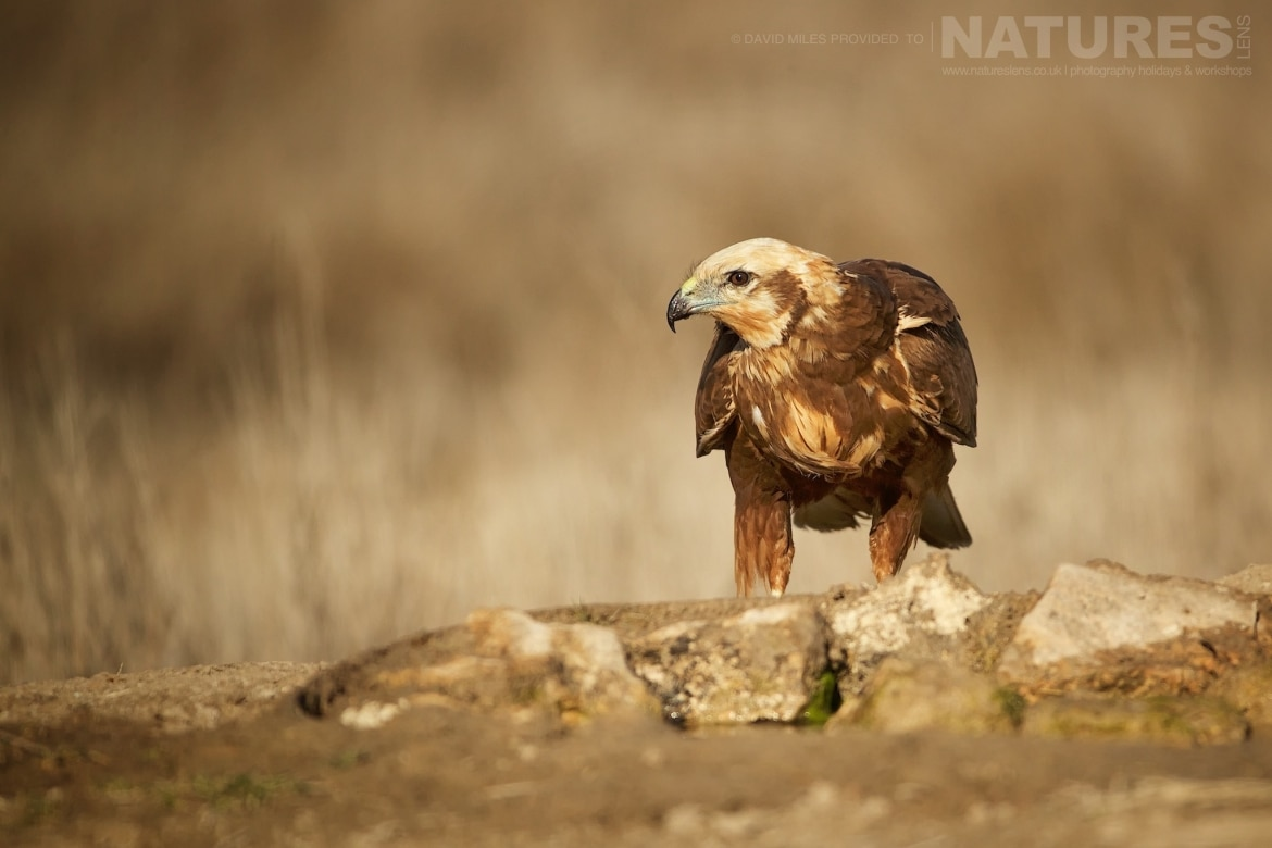 One of the areas Marsh Harriers photographed during the NaturesLens Winter Raptors of Toledo Photography Holiday