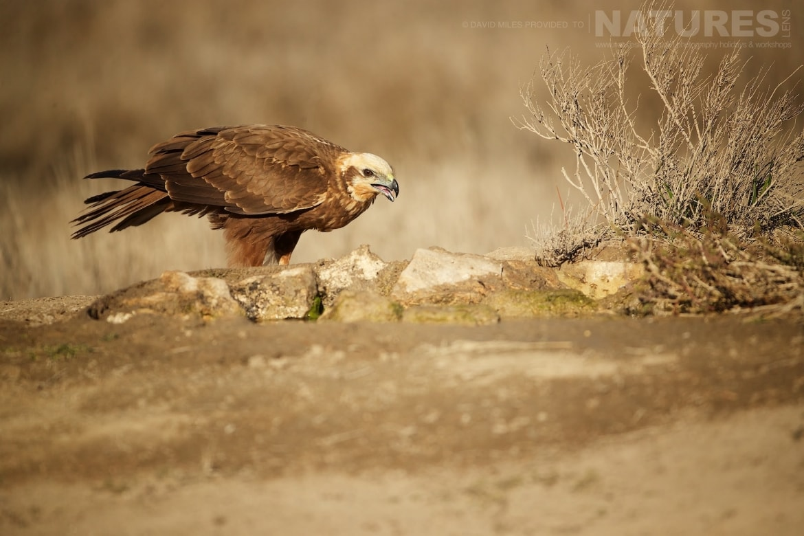 One of the areas Western Marsh Harriers photographed during the NaturesLens Winter Raptors of Toledo Photography Holiday