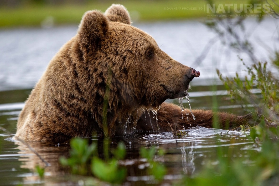 One of the bears cools off in the lake image captured during the NaturesLens Majestic Brown Bears Cubs of Finland Photography Holiday
