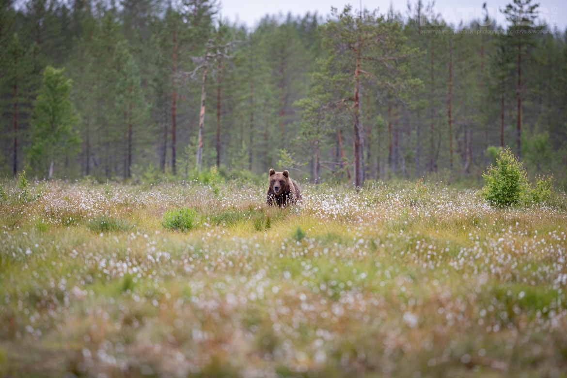 One of the bears emerges from the forest into a flower strewn meadow image captured during the NaturesLens Majestic Brown Bears Cubs of Finland Photography Holiday
