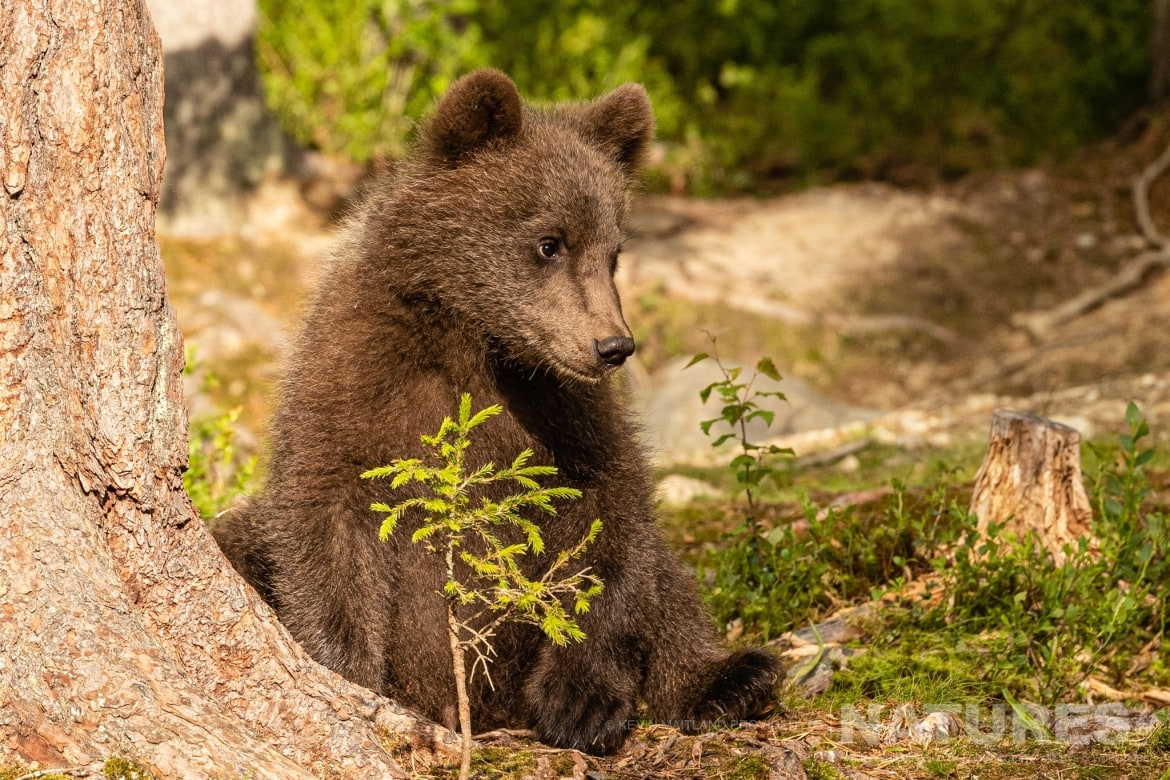 One of the brown bear cubs pauses at the base of one of the trees on the edge of the forest image captured during the NaturesLens Majestic Brown Bears Cubs of Finland Photography Holiday