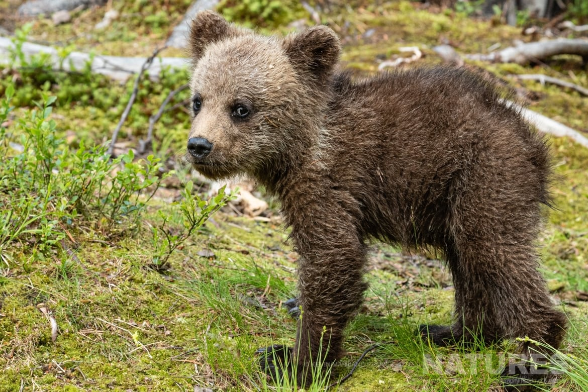 One of the brown bear cubs pauses in front of one of the photography hides image captured during the NaturesLens Majestic Brown Bears Cubs of Finland Photography Holiday