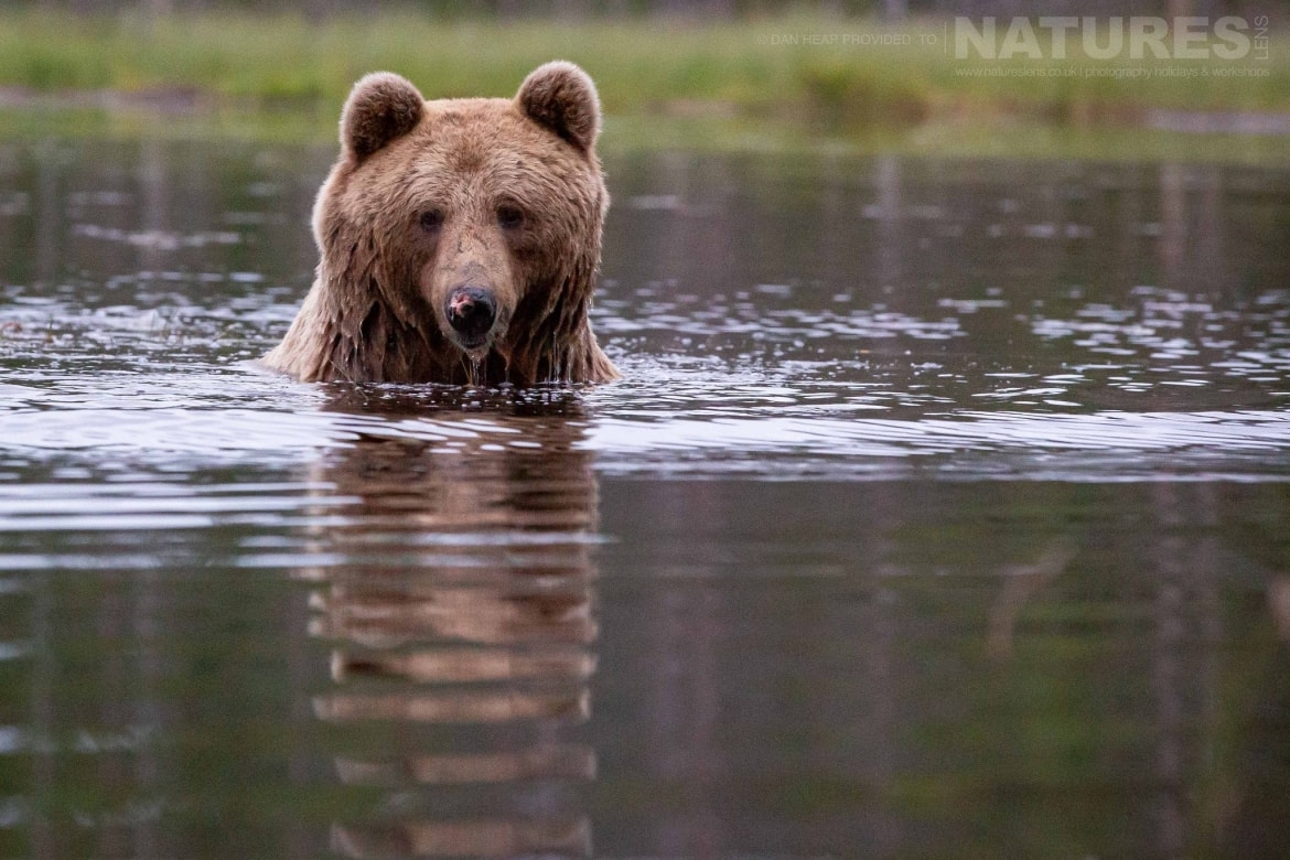 One of the brown bears cools off in the lake image captured during the NaturesLens Majestic Brown Bears Cubs of Finland Photography Holiday