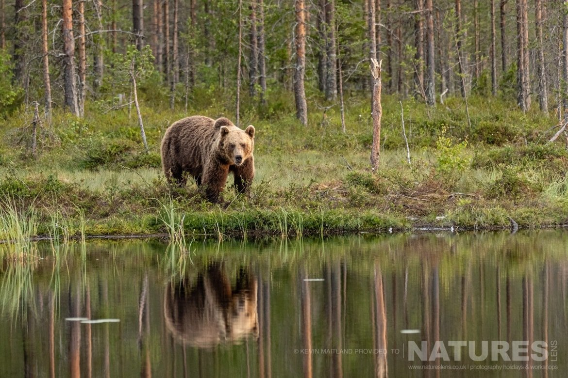 One of the brown bears peers across at the photographer whilst at the lake edge image captured during the NaturesLens Majestic Brown Bears Cubs of Finland Photography Holiday 1