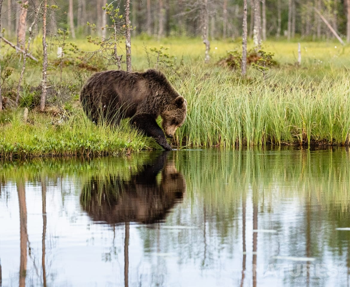 One of the brown bears reflected whilst at the lake edge image captured during the NaturesLens Majestic Brown Bears Cubs of Finland Photography Holiday
