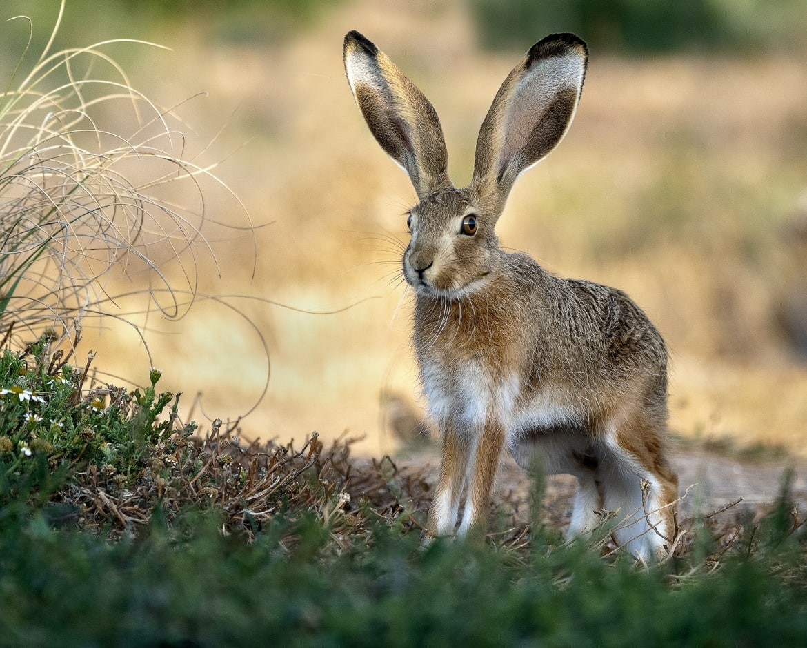 One of the estate hares stands alert photographed during the NaturesLens Spanish Birdlife of Toledo photography holiday